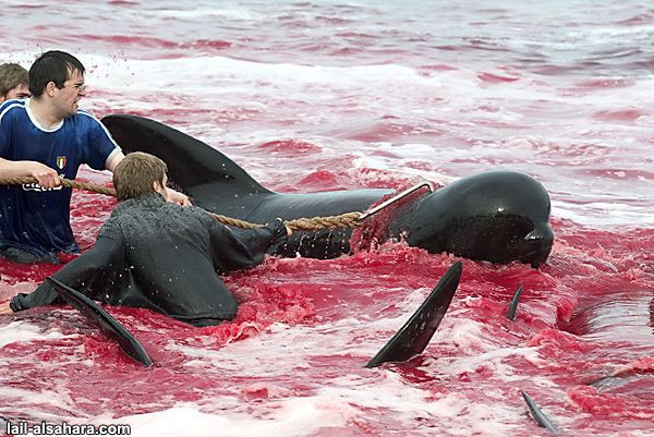 Norway Dolphin Killing