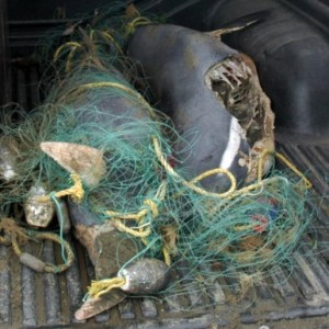 Two Maui dolphins, drowned after being caught up in nylon nets last week.
