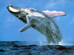 Pic of Humpback whale jumping out of  the ocean.