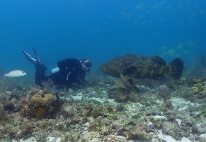 picture of an Atlantic Grouper, clearly larger than the human diver she faces.