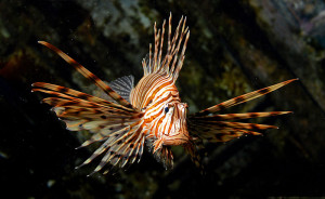 picture of a Red Lionfish